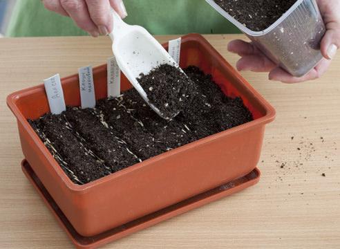 От срока посева зависит начало цветения в открытом грунте