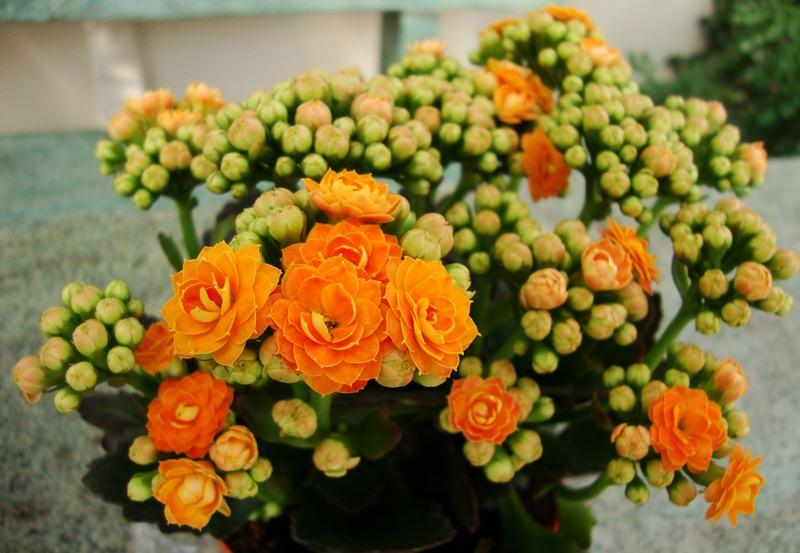 Цветет яркими цветками различных оттенков
