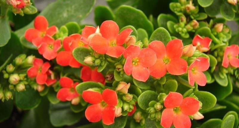 В целом, при соблюдении правил полива и освещения, каланхоэ Блоссфельда на протяжении долгого периода радует своих владельцев пышным и ярким цветением