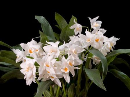 Эти орхидеи можно выращивать на любых окнах, но на южных окнах им требуется притенение