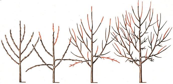 Классическим вариантом формирования дерева черешни для начинающих садоводов является создание разреженно-ярусной кроны