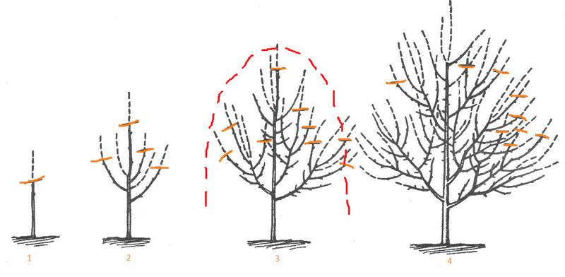 Проведение формирующей обрезки черешни направлено на создание максимально прочного и мощного скелета и предполагает формирование с учетом расположения ярусов кроны