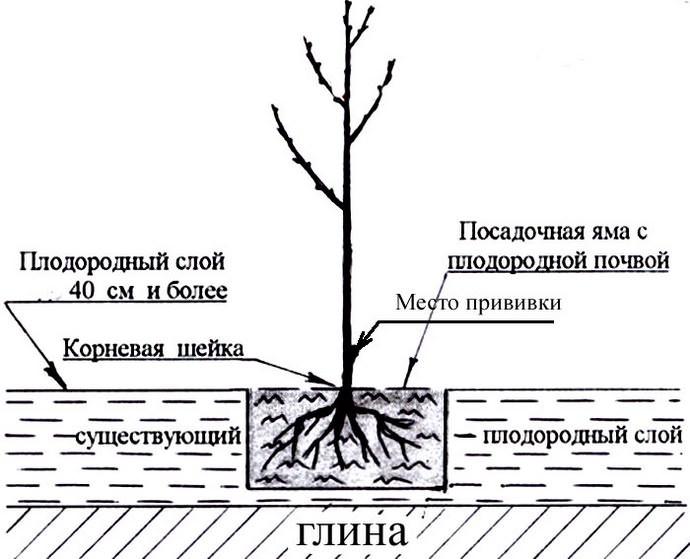 Посадка саженцев черешни в Московской области осуществляетсяв весенний период, до начала активного сокодвижения в растениях