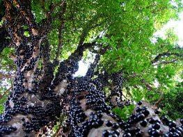 Джаботикаба – уникальное дерево