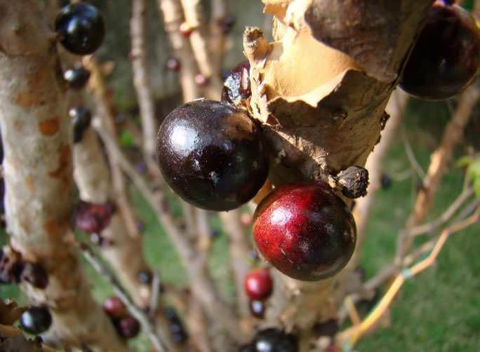 Круглый или эллипсовидный плод джаботикабы классифицируется как костянка, мякоть на разрезе – белая или розовая, на вкус плод – кисло-сладкий