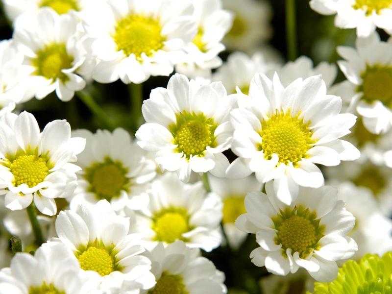 Цветение хризантемы