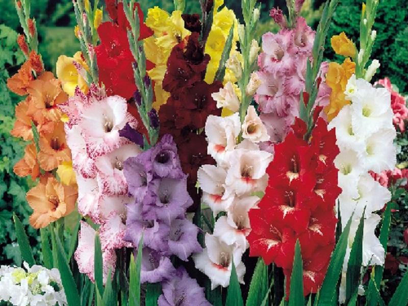 Как цветут гладиолусы