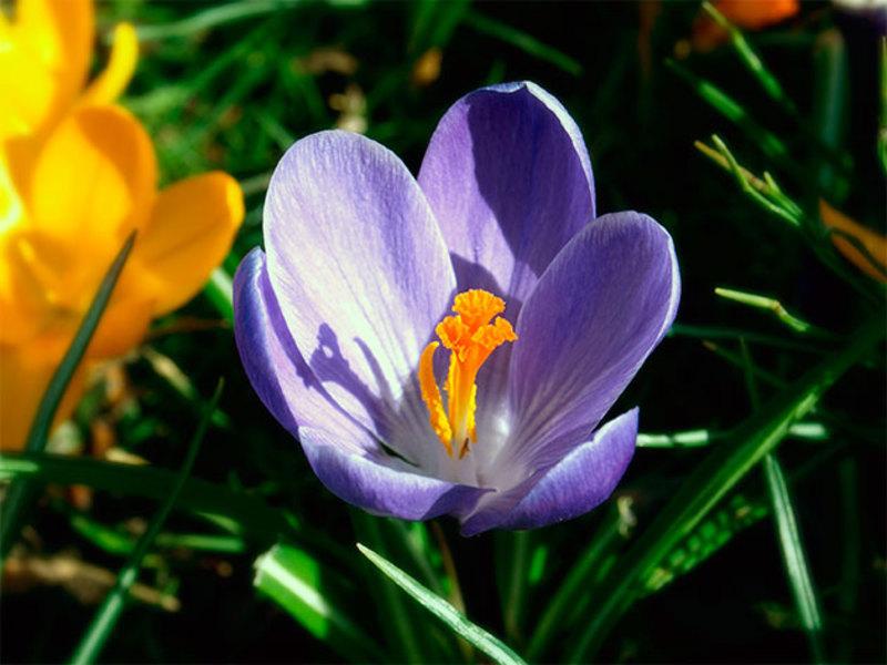 Как цветут крокусы