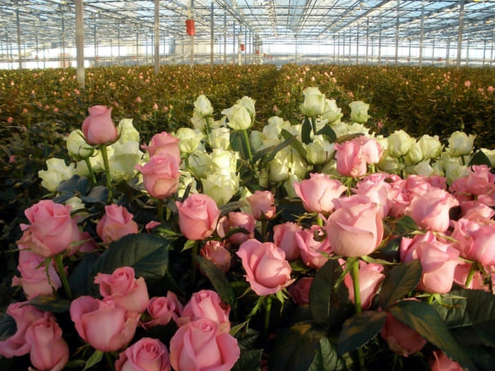 Королева цветов отличается хрупкостью, требует к себе заботливого отношения