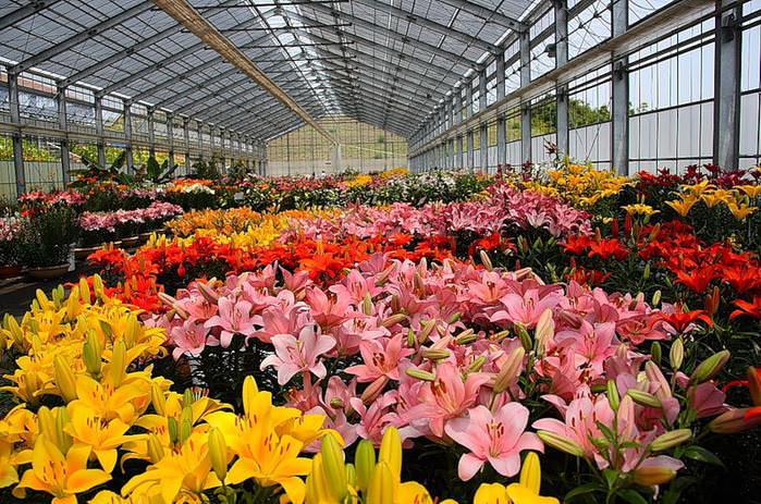 Лилия – относится к многолетним растениям, так что будет радовать своими красивыми цветами не один год