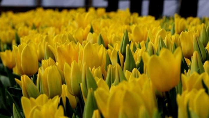 Для посадки тюльпанов в теплице рекомендуется выбирать самые, крупные и на вид здоровые луковицы