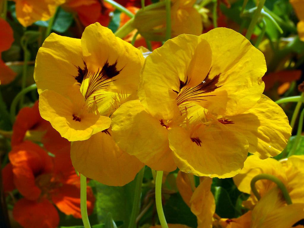 Настурцию цветоводы любят за ее раскидистые красивые кусты. Наибольшей популярностью пользуются гибридная и большая настурция