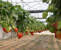 В последние годы достаточно высокую перспективность показывает голландская технология выращивания клубники