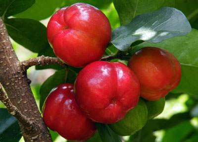 Ацерола – вкусная и необычайно целебная вишня