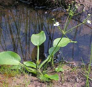 Частуха обыкновенная — растение, относящееся к роду Частуха и семейству Частуховые