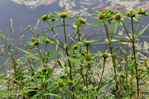 Череда трехраздельная относится к категории теплолюбивых и влаголюбивых растений