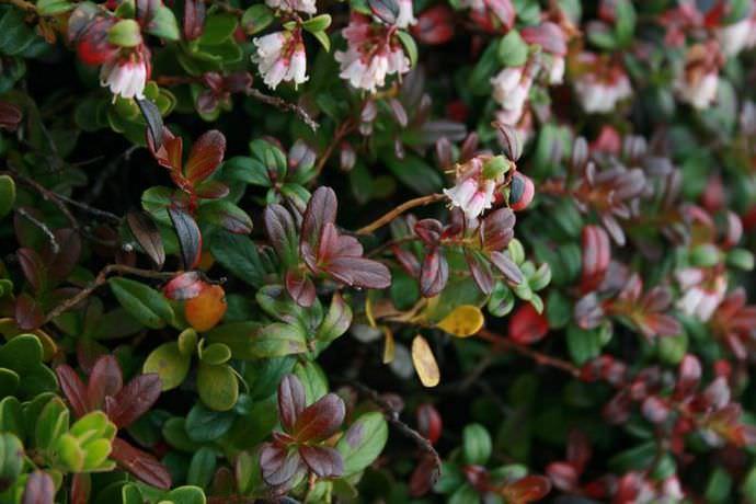 Цветет черника обычно в самом начале лета