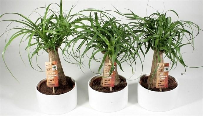 В период активизации ростовых процессов цветок нолина подкармливается один раз в месяц полноценными водорастворимыми удобрениями