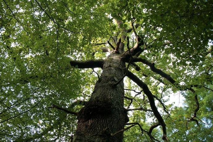 Дуб обыкновенный входит в семейство буковых деревьев