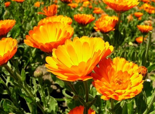 Трава и цветки календулы широко используются в лекарственных целях