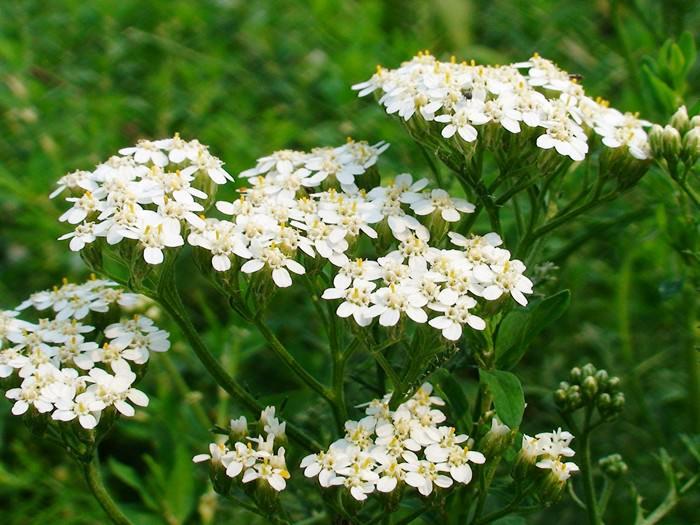 Цветение тысячелистника продолжается в течение всего летнего сезона