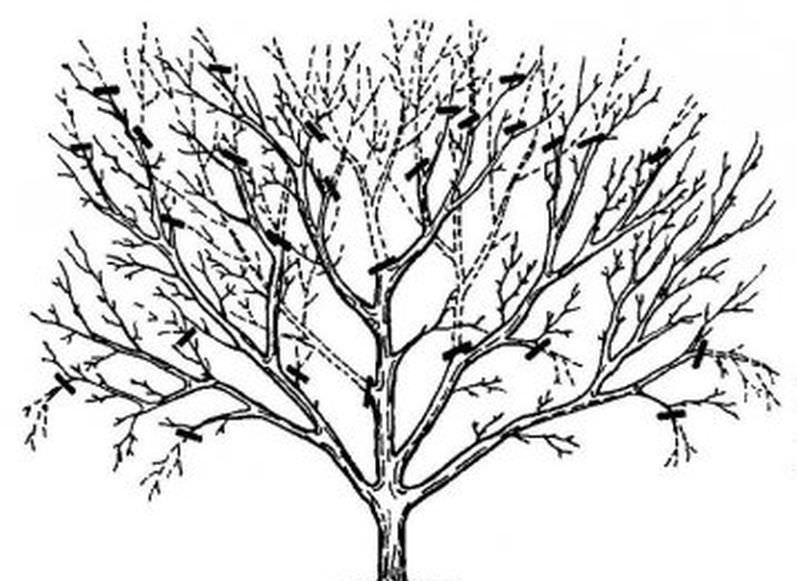 Омолаживающая обрезка старого дерева