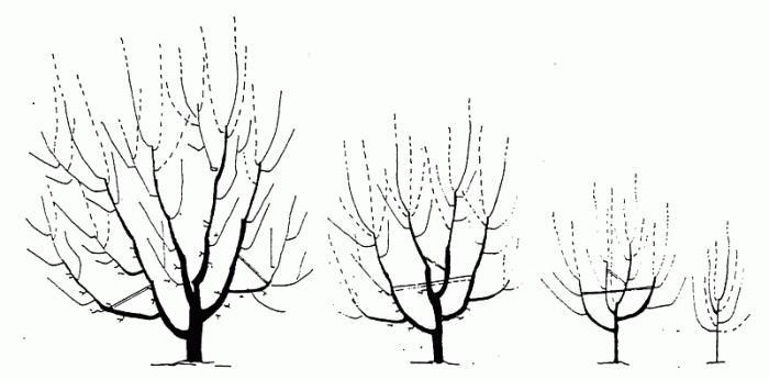 Однолетние деревья осенью обрезать не требуется, они еще не окрепли