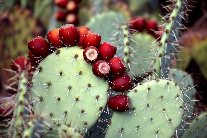 Ягодовидные, напоминающие инжир плоды опунции, употребляются в пищу