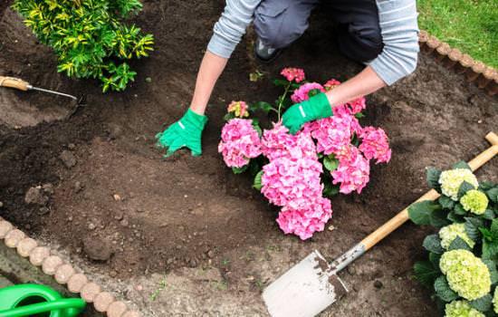 Посадка гортензии осенью – возможность правильно вырастить декоративную садовую культуру