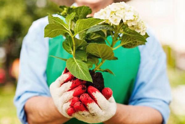 Высаживать в осенний период можно только декоративные саженцы, обладающие хорошо развитой и полностью здоровой корневой системой
