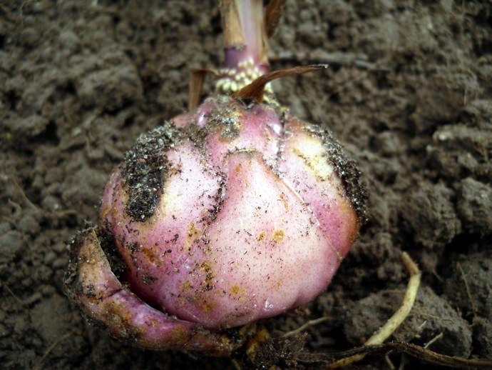 Почва для лилии должна быть представлена листовым перегноем и навозом