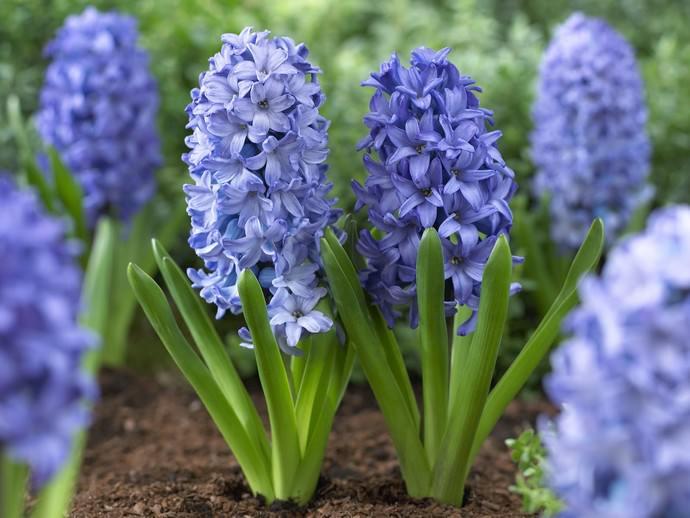 Посадка под зиму позволяет получить обильное цветение следующей весной