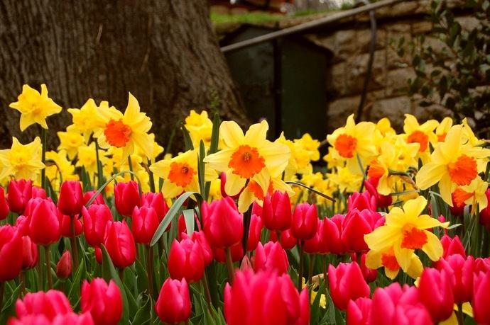 Любые весенние луковичные цветы прекрасно подходят для оформления клумб и цветников