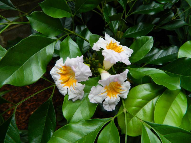 Радермахера зацветает крупными колокольчиковидными цветками жёлтого окрашивания