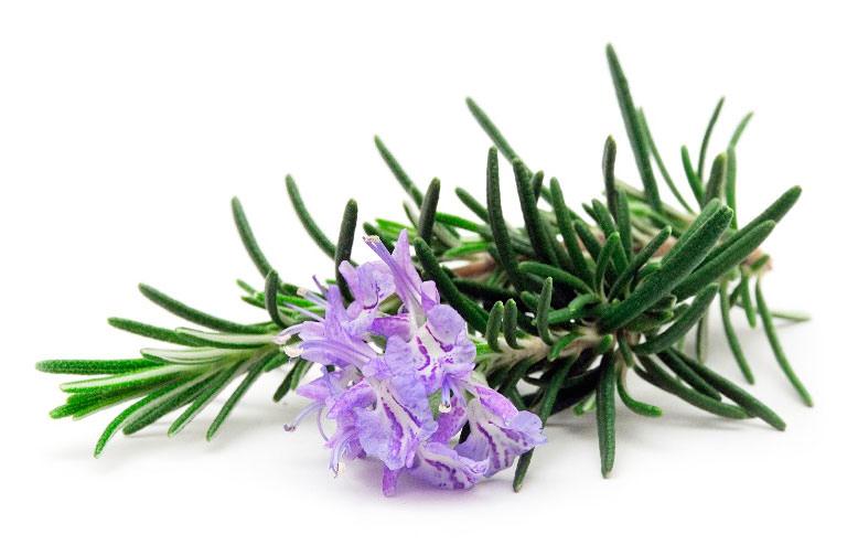 Розмарин в лечебных целях собирают во время перед началом цветения или на его раннем сроке