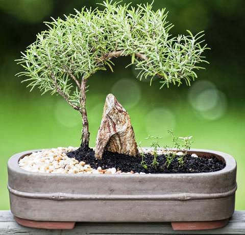 Розмарин обыкновенный – вид вечнозелёного лиственного кустарника