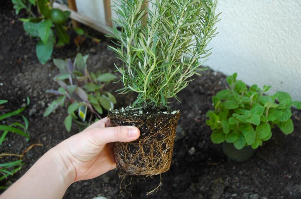 Сажают розмарин весной, время для высаживания растения в грунт выбирают, помня о теплолюбивости растения