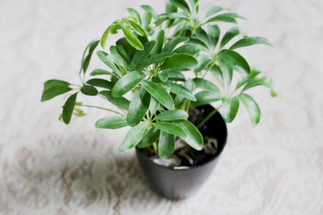 Шеффлере можно придавать кустовую форму посредством высаживания в один цветочный горшок нескольких черенков