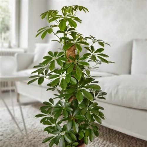 Шеффлера относится к роду растений из семейства Аралиевые