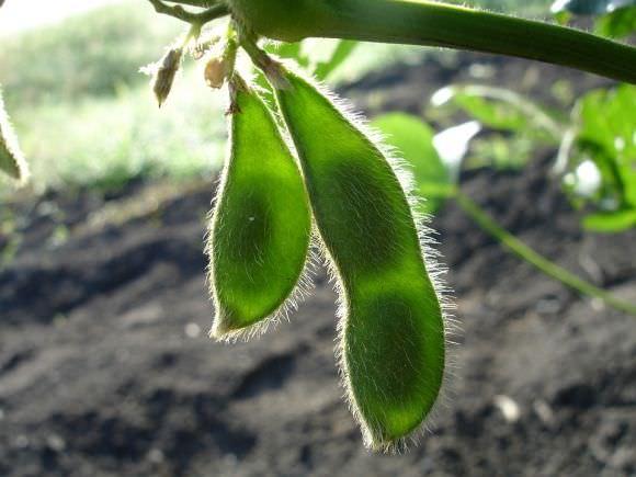 Для выращивания сои потребуется много солнца и своевременные поливы