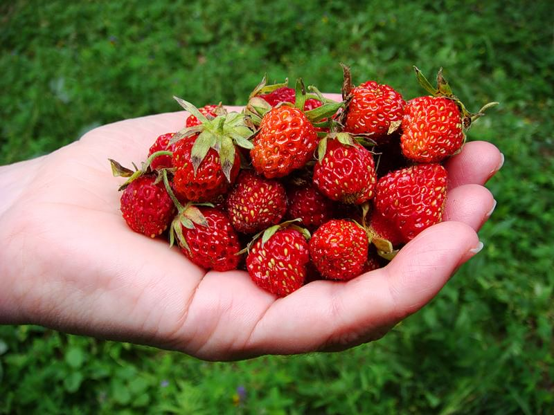 Производить сбор ягод земляники нужно утром в прохладе и после схода росы