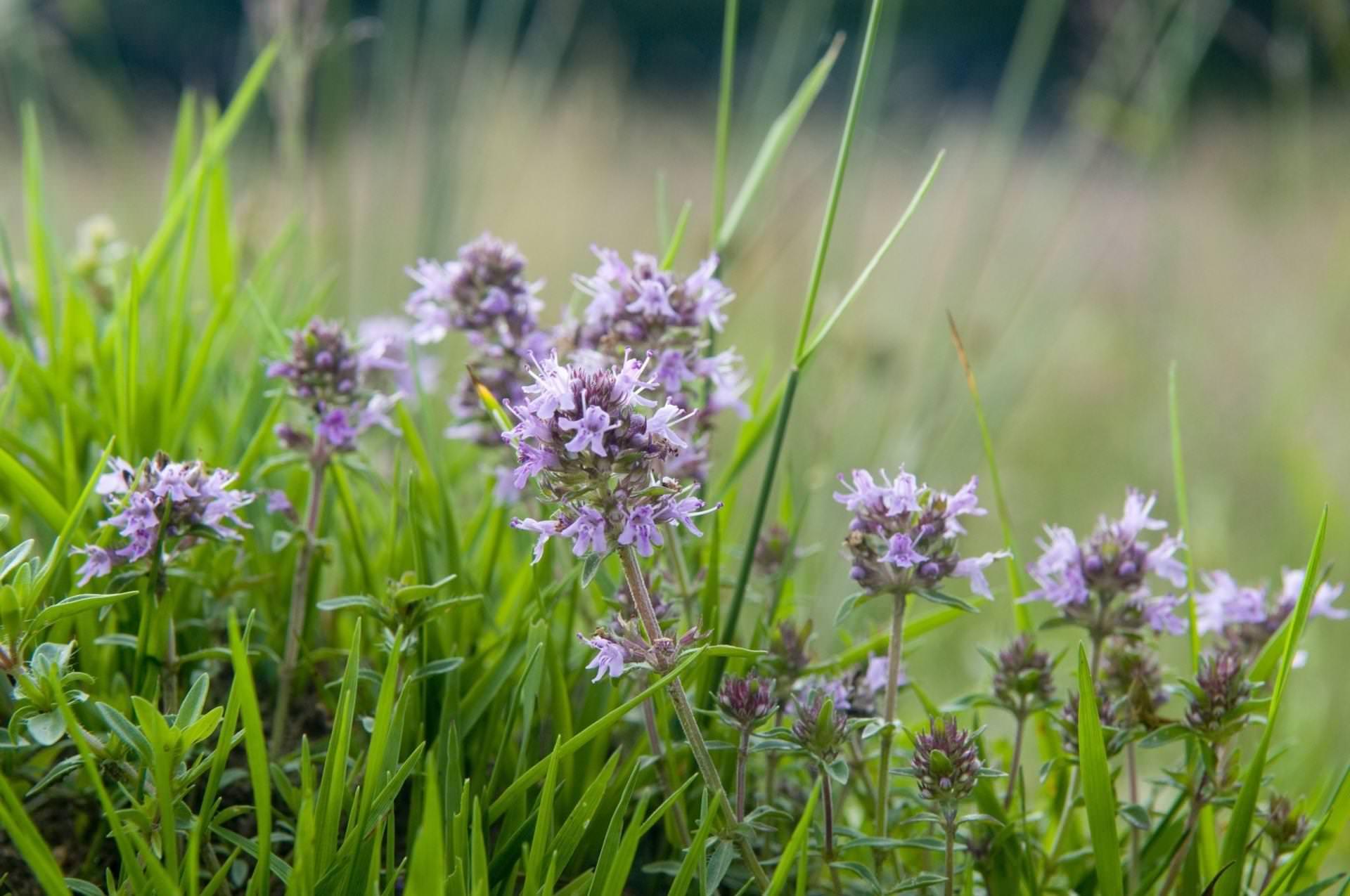 Тимьян обыкновенный – многолетний кустарник с красивым цветением и приятным ароматом