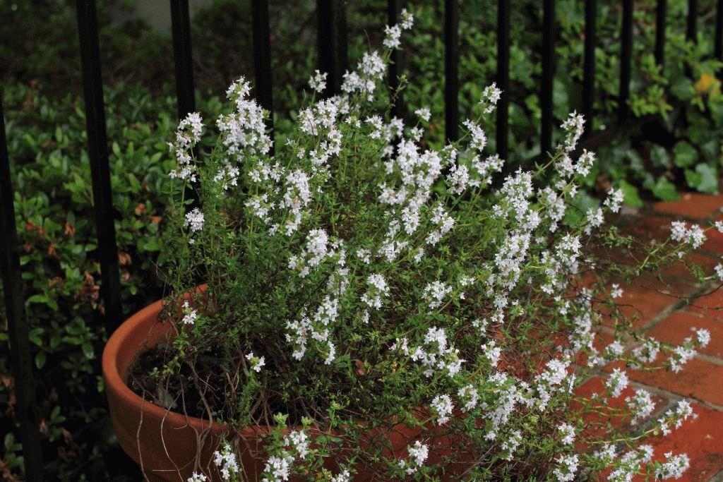 Иногда чабрец предпочитают выращивать в домашних цветочных горшках