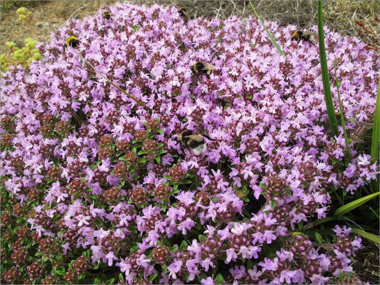 Тимьян – многолетний душистый травянистый кустарник, высота которого колеблется от 5 до 35 см