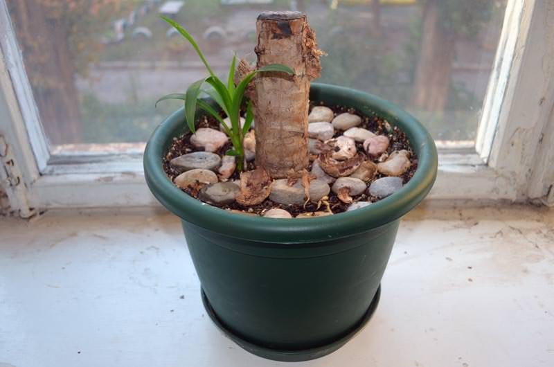Отделение корневых или стеблевых отростков очень полезно