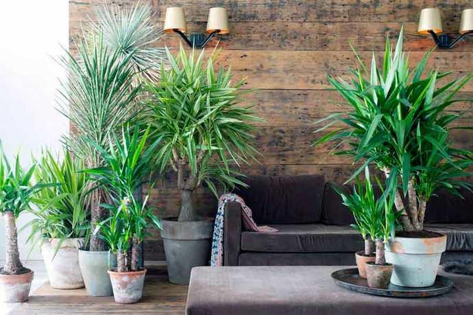 Юкка —древовидное и вечнозелёное растение, относящееся к семейству Агавовые