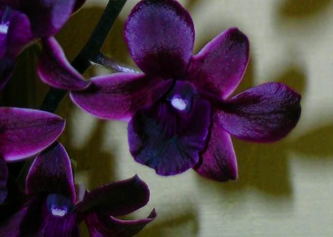 Вопреки распространенному мнению, диким Дендробиум назвать нельзя: это обычный гибрид, выведенный в питомнике