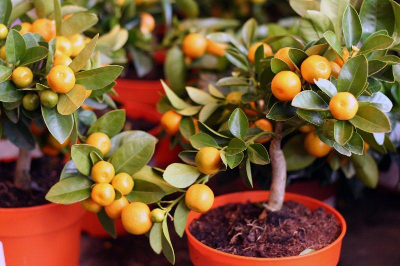 Не все знают, как ухаживать за мандариновым деревом и не допустить появления болезней и вредителей