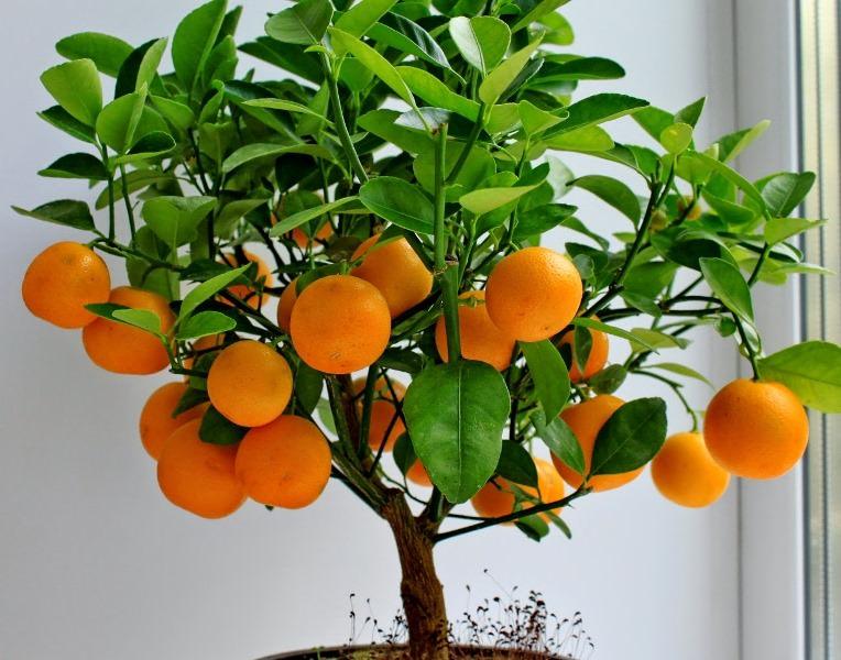 """В теплый период цитрус увлажняют чаще, влажный, но не превращенный в """"болото"""" субстрат больше всего любит мандарин"""