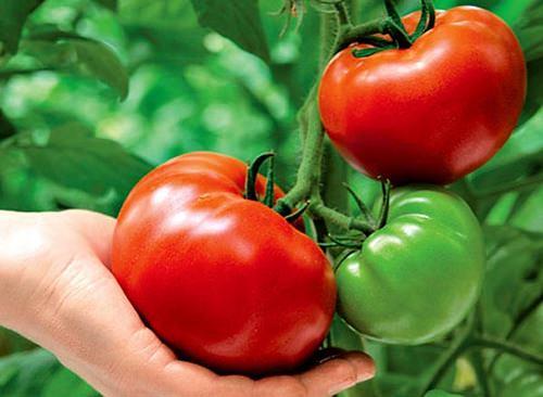 Для южных регионов должна производиться высадка рассады томатов сорта «Титан»